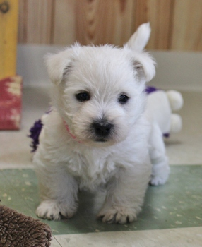 AVAILABLE WESTIES