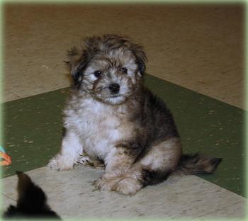 Past Havapoo Puppies